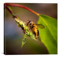 Hover fly and aphids, Canvas Print