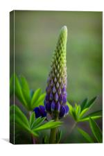 Single Lupin, Canvas Print
