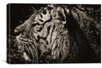 Bengal Tiger (Panthera tigris tigris), Canvas Print