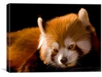Red Panda, Canvas Print