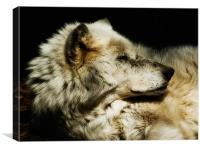 Grey Wolf Resting, Canvas Print