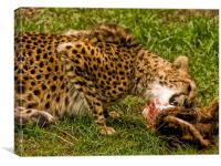 Cheetah (Acinonyx jubatus), Canvas Print