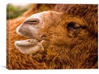 Bactrian Camel (Camelus bactrianus), Canvas Print