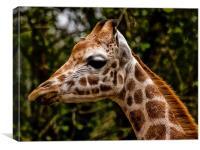 Giraffe (giraffa camelopardalis), Canvas Print