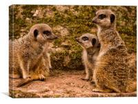 Slender Tailed Meerkats, Canvas Print