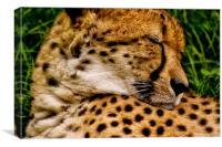 Southern Cheetah (Acinonyx jubatus), Canvas Print