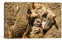 Meerkats Play Time, Canvas Print