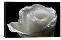 Wet White Rose, Canvas Print