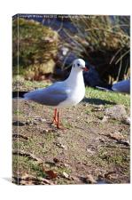 Gull at Bradgate park, Leicestershire, Canvas Print