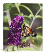 Monarch orange butterfly on Buddleia, Canvas Print