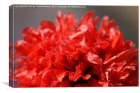 Red Poppy, Canvas Print