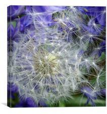 Dandelion clock amongst the bluebells, Canvas Print