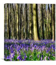 Common bluebell wood scene 2, Canvas Print