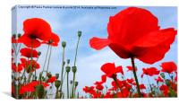 Vibrant coloured poppies, Canvas Print