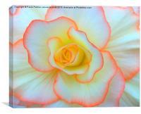 Begonia flower, Canvas Print