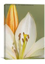 White Lily and Bud (Digital Art), Canvas Print