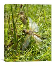 Four Spotted Chaser Dragonfly, Canvas Print