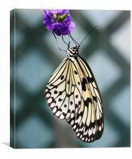 Black and white butterfly, Canvas Print