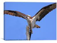 Osprey, Canvas Print