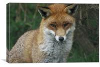 Sly Fox, Canvas Print