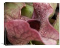 Sarracenia Purpurea Pitcher Plant, Canvas Print