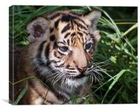 Sumatran Tiger Cub, Canvas Print