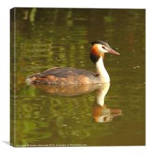 Great Crested Grebe - Podiceps cristatus, Canvas Print