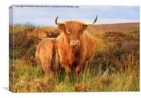 Highland Cow & baby, Canvas Print