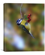 Blue tit & berries., Canvas Print
