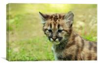 Puma Kitten, Canvas Print