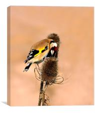 Hungry Goldfinch, Canvas Print
