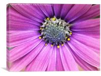 Lavender daisy with blue center, Canvas Print