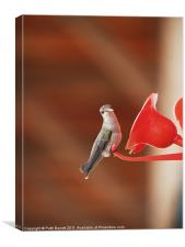 Humming bird, sassy, Canvas Print