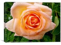 Apricot Rose, Canvas Print
