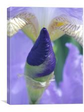 Purple Iris Bud, Canvas Print