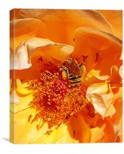 Honey Bee in Amber, Canvas Print