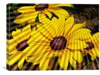 Black Eyed Susan soaking the sun., Canvas Print