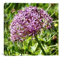 Allium in Bloom, Canvas Print