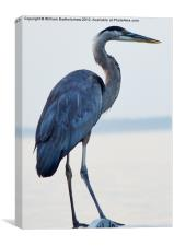 Blue Heron, Canvas Print