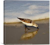 Beach Bird, Canvas Print