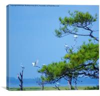 Flock of Great Egrets, Canvas Print