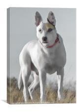 English Bull Terrier Cross, Canvas Print