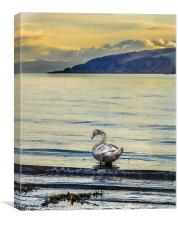 Swan, Canvas Print