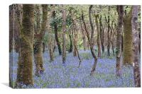 Bluebells, Tehidy Woods, Cornwall, Canvas Print