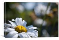 White Daisy, Canvas Print