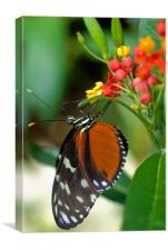 Butterfly Eating, Canvas Print