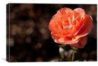 Peach Rose, Canvas Print