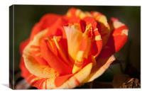 Multicoloured Rose, Canvas Print