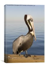 One footed Floridan Pelican, Canvas Print