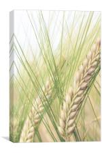 Barley Ears, Canvas Print